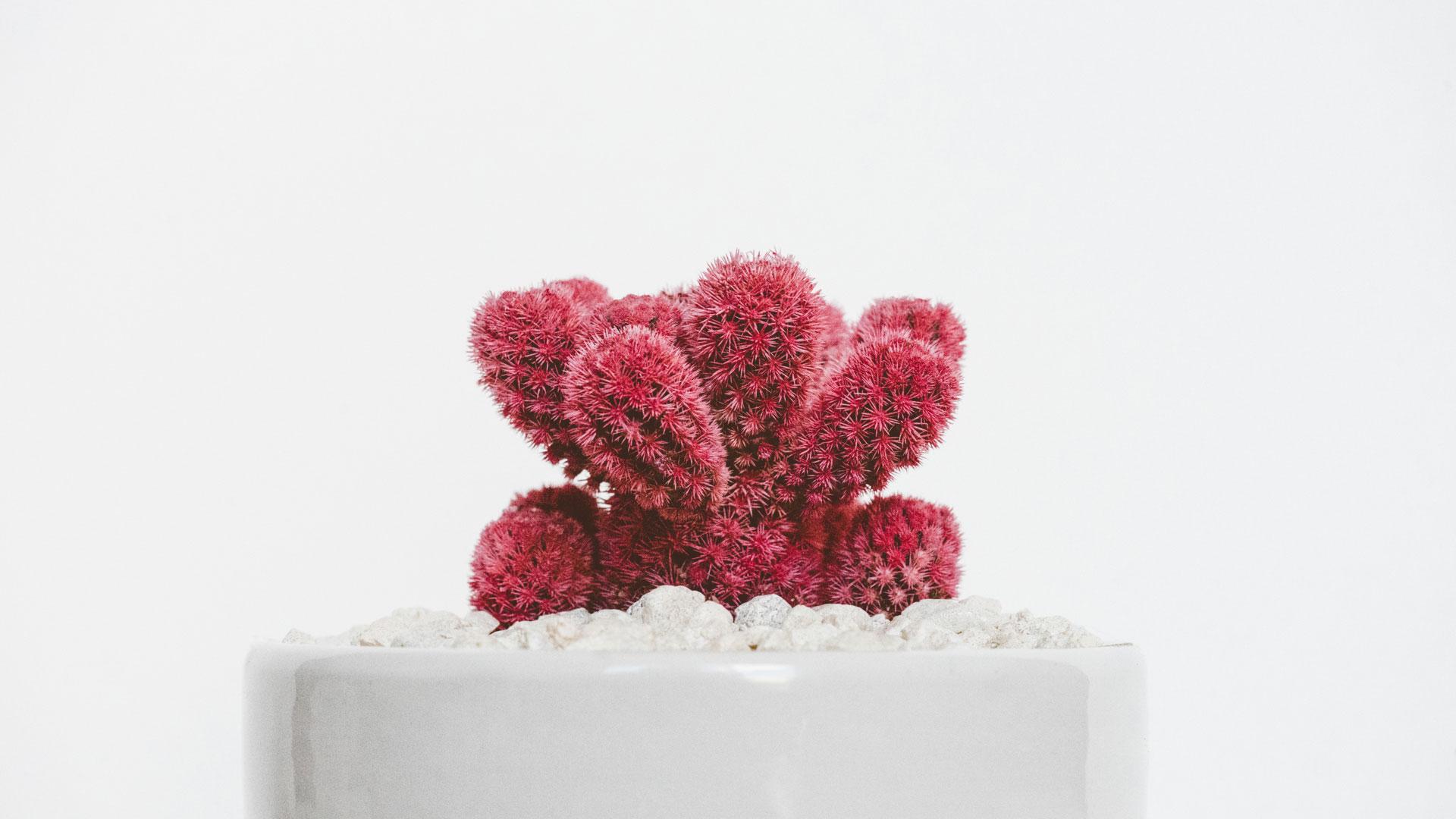 кактус сүрөт