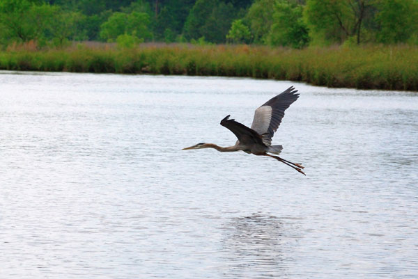 image of heron